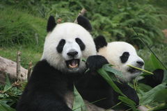 Osos de panda gigante (Ailuropoda Melanoleuca), China Foto de archivo