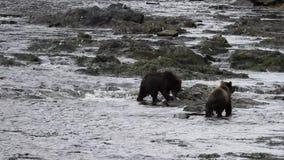 Osos en Alaska metrajes