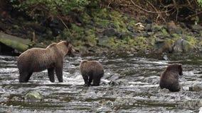 Osos en Alaska almacen de metraje de vídeo