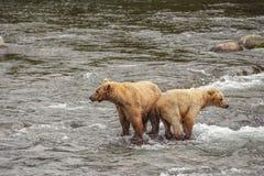 Osos grizzly de Katmai NP fotos de archivo libres de regalías
