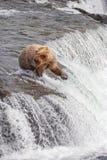 Osos grizzly de Katmai NP imagenes de archivo