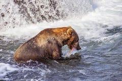 Osos grizzly de Katmai NP imagen de archivo libre de regalías