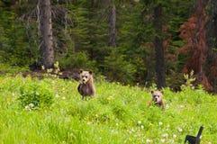 Osos grizzly del bebé Imagen de archivo libre de regalías