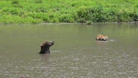 Osos, mamíferos, animales del parque zoológico, fauna almacen de video