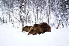 Osos Narvik Noruega fotos de archivo libres de regalías