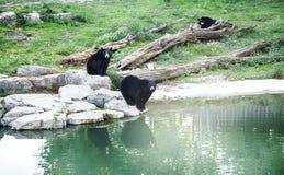 Osos negros en el parque zoológico fotografía de archivo libre de regalías