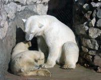 Osos polares Fotografía de archivo