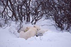Osos polares Imagen de archivo