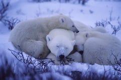 Osos polares Imagenes de archivo