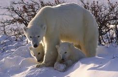 Osos polares Fotografía de archivo libre de regalías