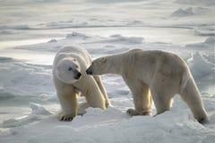 Osos polares imagen de archivo libre de regalías