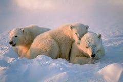 Osos polares Imágenes de archivo libres de regalías