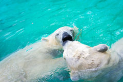 Osos polares blancos Imagen de archivo libre de regalías