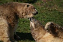 Osos polares en amor Imagenes de archivo
