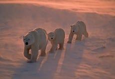 Osos polares en el ártico canadiense imagenes de archivo