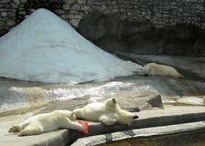 Osos polares en el parque zoológico de Moscú imagenes de archivo