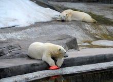 Osos polares en el parque zoológico de Moscú foto de archivo libre de regalías