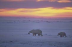 Osos polares en la puesta del sol en el ártico canadiense Imágenes de archivo libres de regalías
