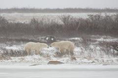 Osos polares masculinos que tienen un pilar Fotos de archivo
