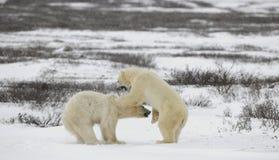 Osos polares que luchan. Imagen de archivo libre de regalías