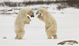 Osos polares que luchan Imagen de archivo libre de regalías