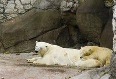 Osos polares que se relajan Fotografía de archivo