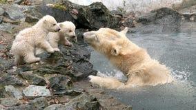 Osos polares recién nacidos Imágenes de archivo libres de regalías