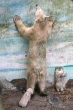 Osos polares recién nacidos Fotografía de archivo