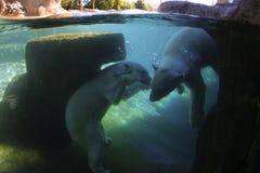 Osos polares subacuáticos Foto de archivo