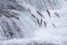 Łososiowy doskakiwanie W górę spadków Zdjęcia Royalty Free