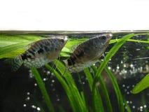 Osphromemus gorami en superficie del agua Imagen de archivo libre de regalías