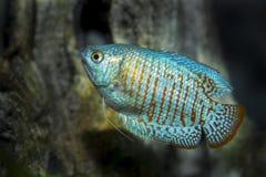 Osphromemus gorami enano azul de neón Imagen de archivo libre de regalías