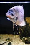 Osphromemus gorami gigante foto de archivo libre de regalías