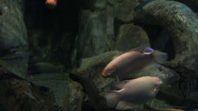 Osphromemus gorami gigante Osphronemus goramy en vídeo maravillosamente adornado de la cantidad de la acción de Marine Aquarium almacen de metraje de vídeo