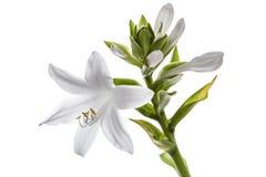 Ospiti dei fiori, isolati su fondo bianco Fotografia Stock