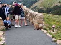 Ospiti in Rocky Mountain National Park che esamina marmotta Fotografia Stock