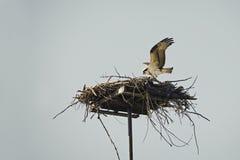 Ospray landing on the nest Stock Photos