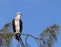 Osprey été perché photo libre de droits