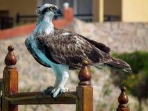 Osprey - αετός ψαριών Στοκ Εικόνες