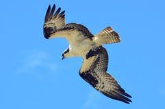 Osprey κατά την πτήση με το θήραμα 02 Στοκ Εικόνες