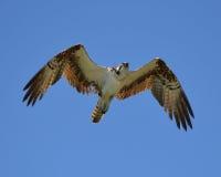 Osprey κατά την πτήση Στοκ εικόνα με δικαίωμα ελεύθερης χρήσης