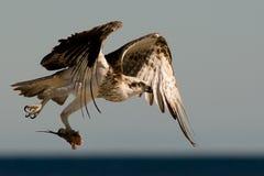 osprey κυνηγιού Στοκ εικόνες με δικαίωμα ελεύθερης χρήσης