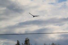 Osprey με τα ψάρια Στοκ φωτογραφία με δικαίωμα ελεύθερης χρήσης