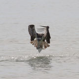 Osprey με τα ψάρια Στοκ εικόνα με δικαίωμα ελεύθερης χρήσης