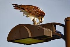 Osprey με το γεύμα Στοκ Εικόνες
