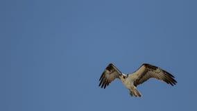 Osprey που πετά, κόλπος SAN Carlos, κονσέρβα παραλιών Bunche, Φλώριδα Στοκ Εικόνες