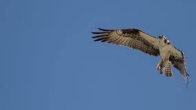Osprey που πετά, κόλπος SAN Carlos, κονσέρβα παραλιών Bunche, Φλώριδα Στοκ Φωτογραφία