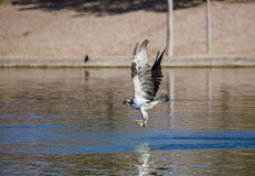 Osprey που πετά με ένα ψάρι Στοκ φωτογραφία με δικαίωμα ελεύθερης χρήσης