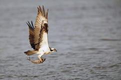Osprey που πετά με τα ψάρια Στοκ Εικόνες