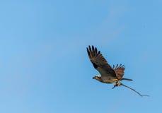 Osprey που συλλέγει τα ραβδιά Στοκ φωτογραφία με δικαίωμα ελεύθερης χρήσης